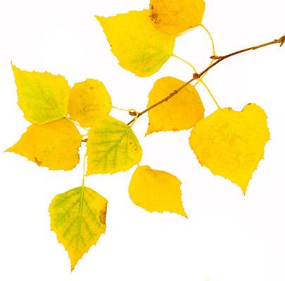 Freigestellte Blätter